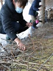 青森・弘前公園で桜の剪定枝配布 一足早い春を求めて市民集まる