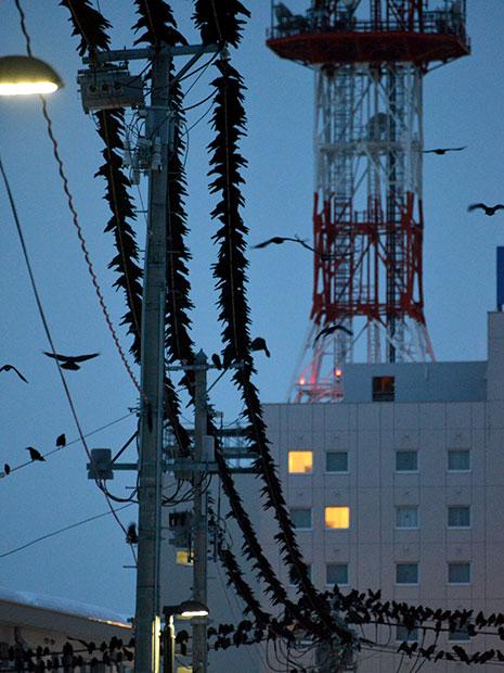 電線に集まるカラスの群れ(3月1日18時頃撮影)