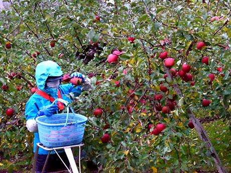 今季最後のリンゴ収穫に追われる農園スタッフ