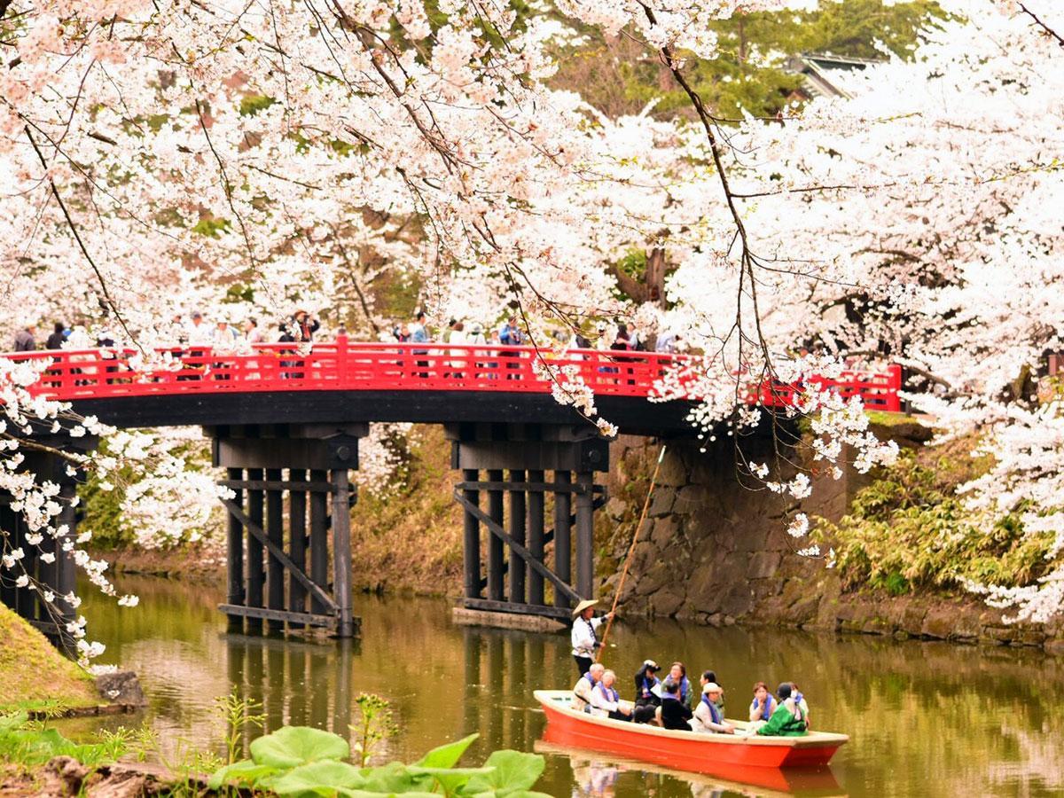 弘前公園の桜。昨年の様子