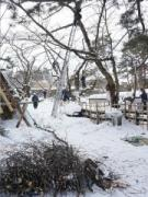 弘前公園で桜の剪定始まる 弘前方式で今年も