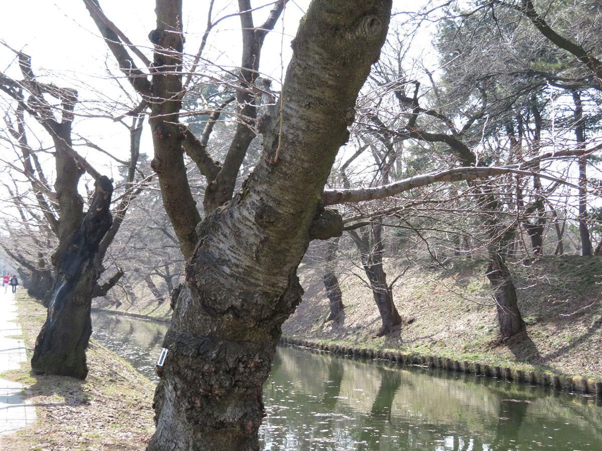 3月26日14時撮影の外堀の桜