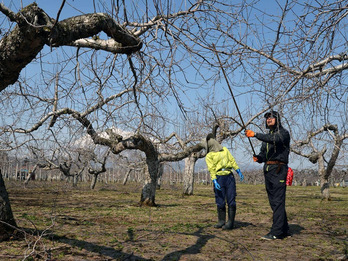 リンゴ農家を目指す女性にせん定の技術を教える