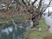 弘前市が4回目の桜の開花予報 寒さの影響で2日遅れる