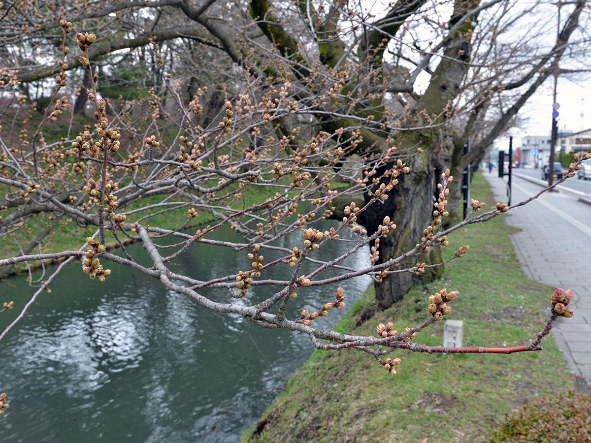 4月9日11時ごろ撮影の外堀の桜。つぼみが大きくなっている