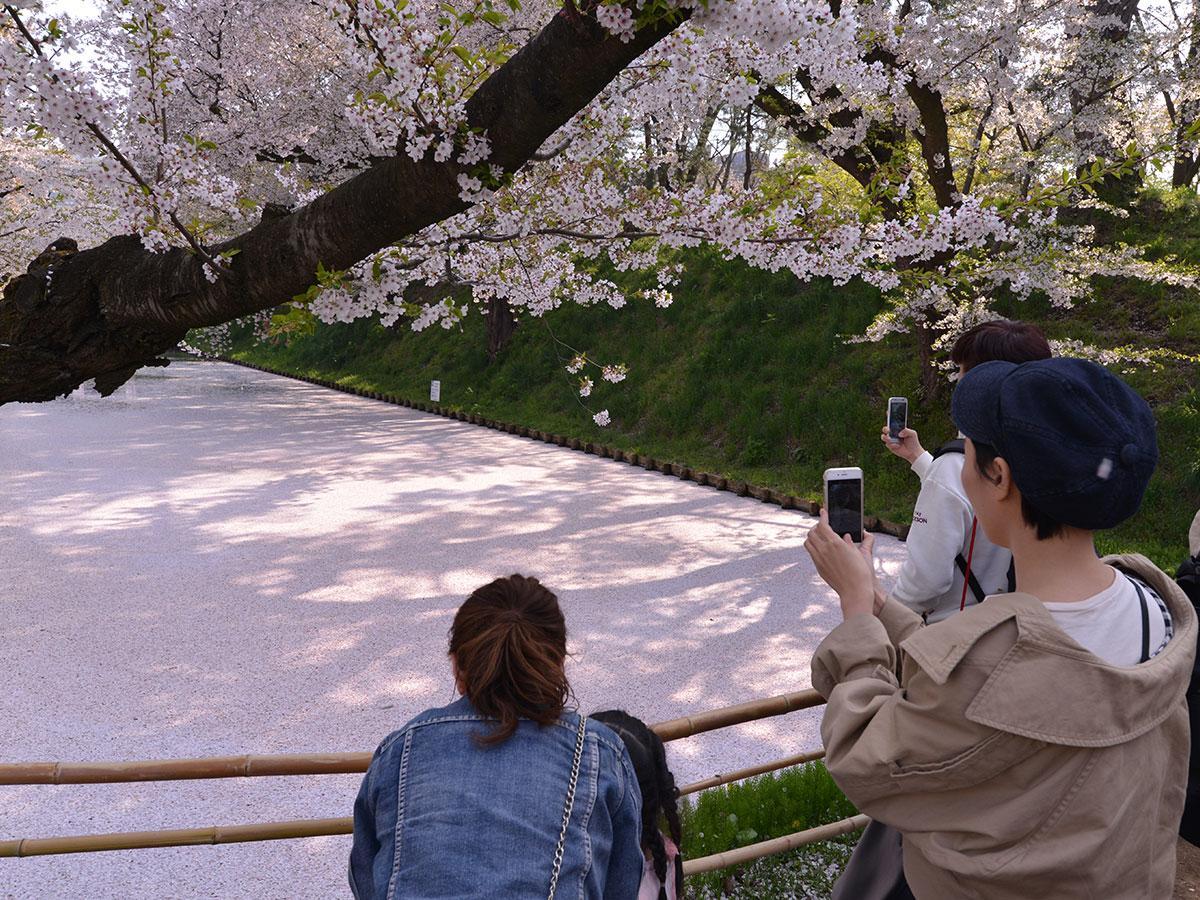 弘前公園の外堀にできた花筏にカメラを向ける観光客