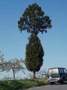 青森のリンゴ農園に「気になる木」 「新種か」「高度な接ぎ木技術」、その真相は