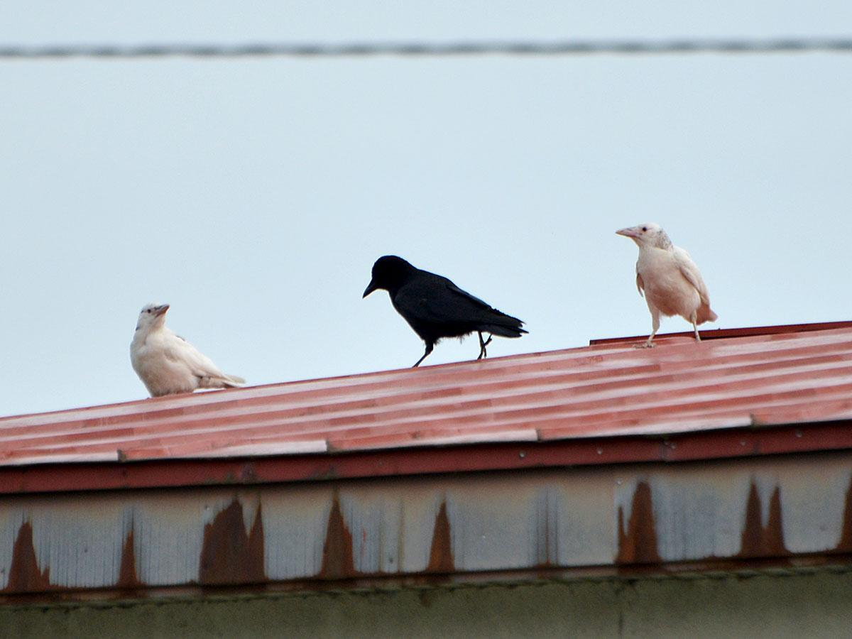 青森・碇ヶ関で目撃された2羽の白いカラス