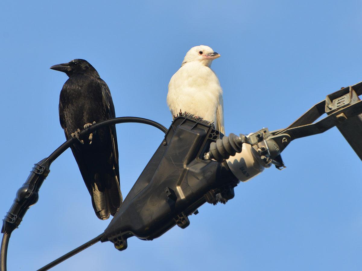 目撃情報が1羽となってしまった白いカラス(10月8日撮影)