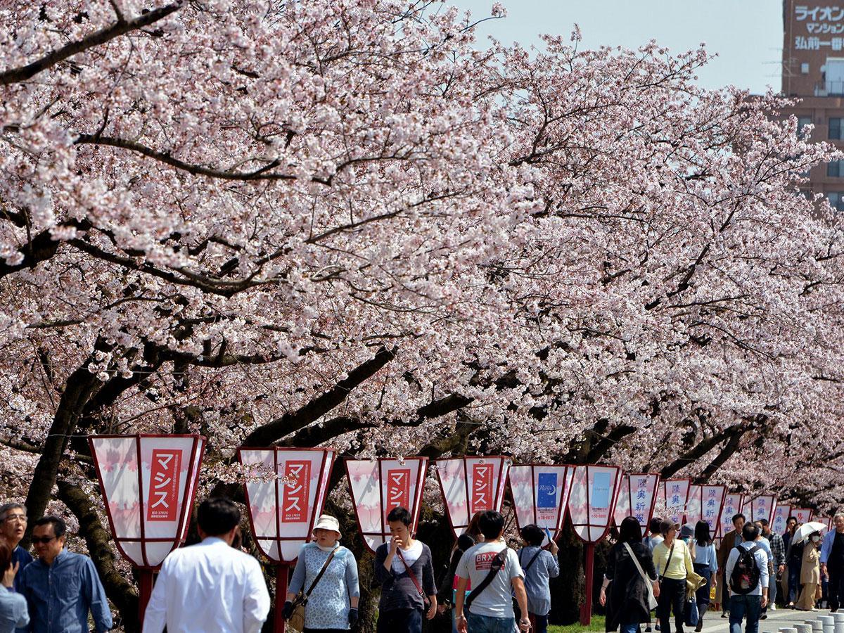 弘前公園外堀の桜。昨年の様子
