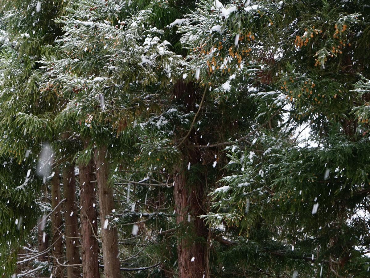 雪が降る中、スギの雄花が見える