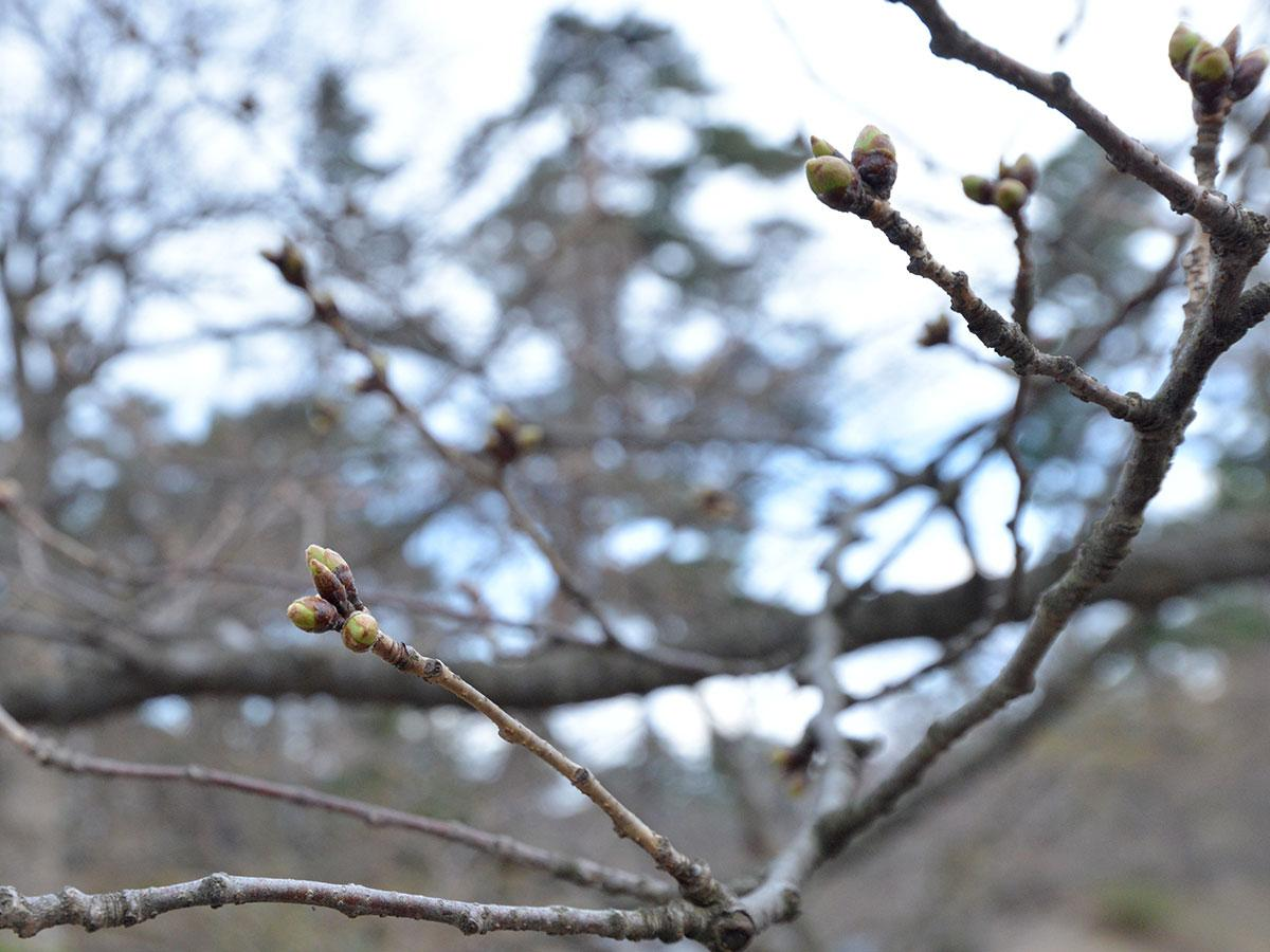 弘前公園内にある標準木の桜のつぼみ