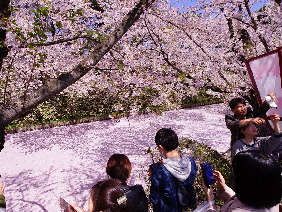 追手門近くの外堀にできた花筏にカメラを向ける花見客(4月28日12時頃)