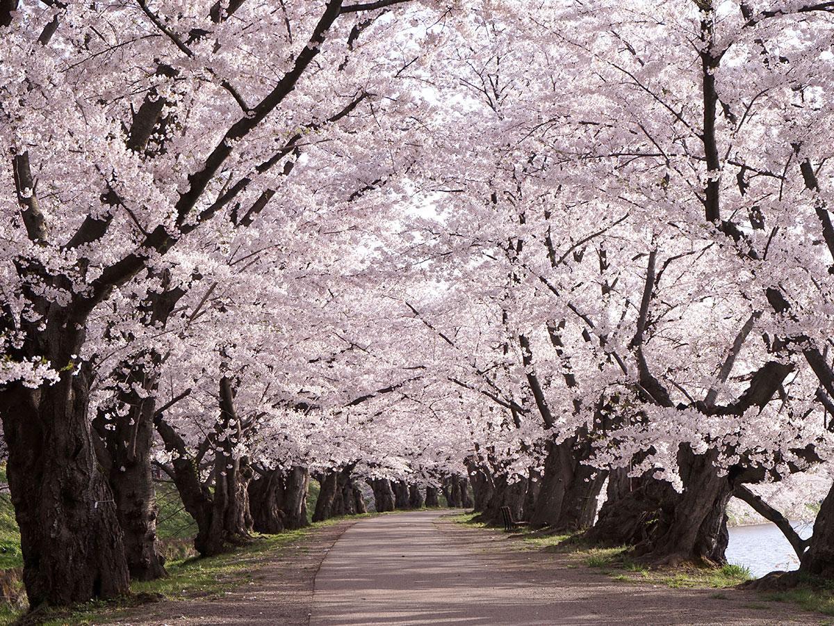 公園閉鎖のため誰もいない満開の桜のトンネル。ぼんぼりのない珍しい光景