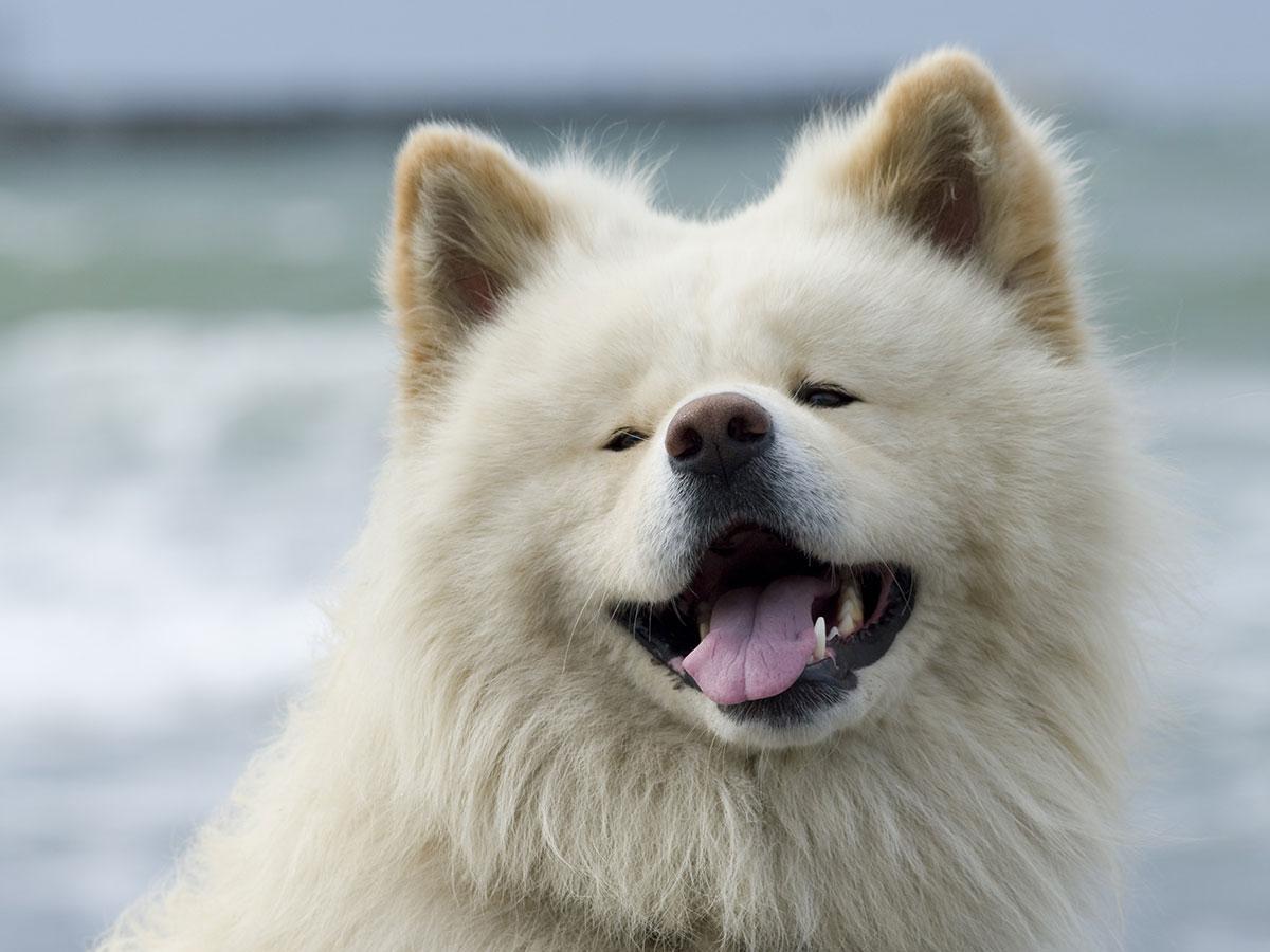 青森を代表する秋田犬となった「わさお」(写真提供=わさおありがとう実行委員会)