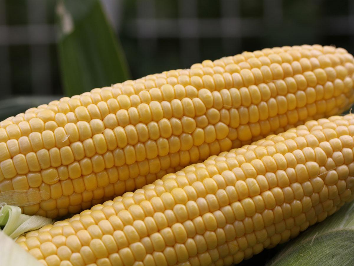 9月下旬まで収穫が続くブランドトウモロコシ「嶽きみ」
