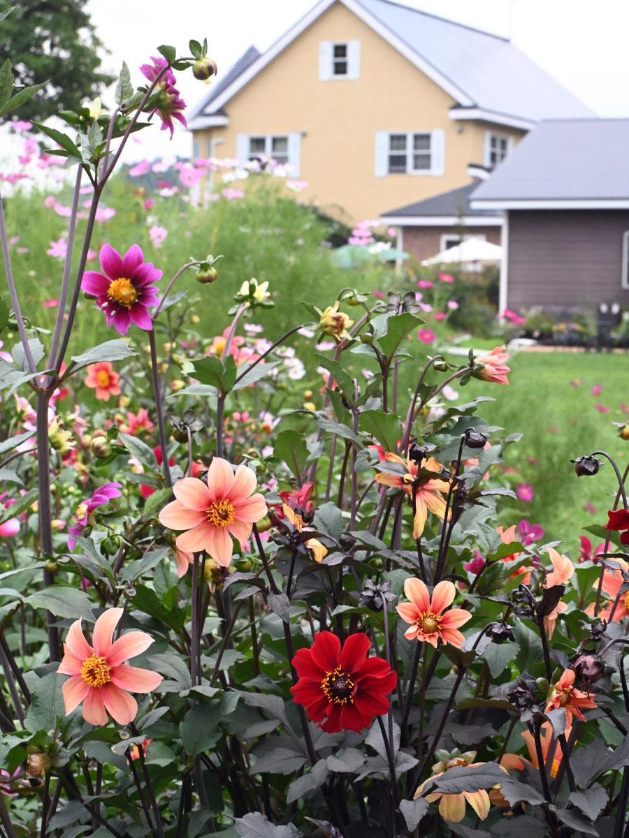 ダリヤやコスモスが咲く園内