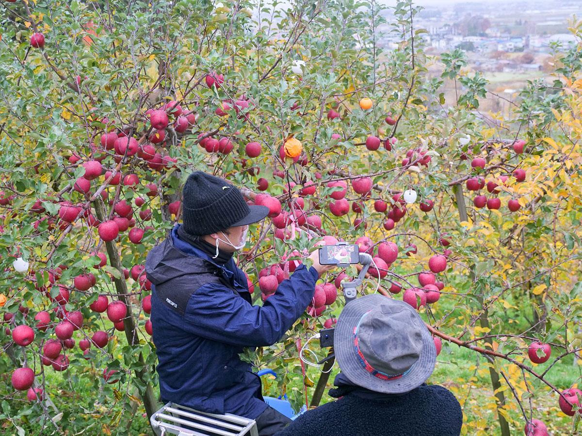 リンゴの収穫体験をオンラインで配信した(写真提供=みてみて平川)