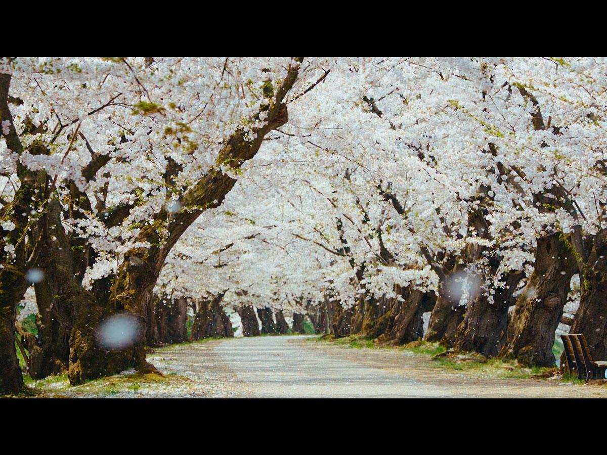 動画のワンシーン。人が誰も写っていない桜のトンネルと桜吹雪