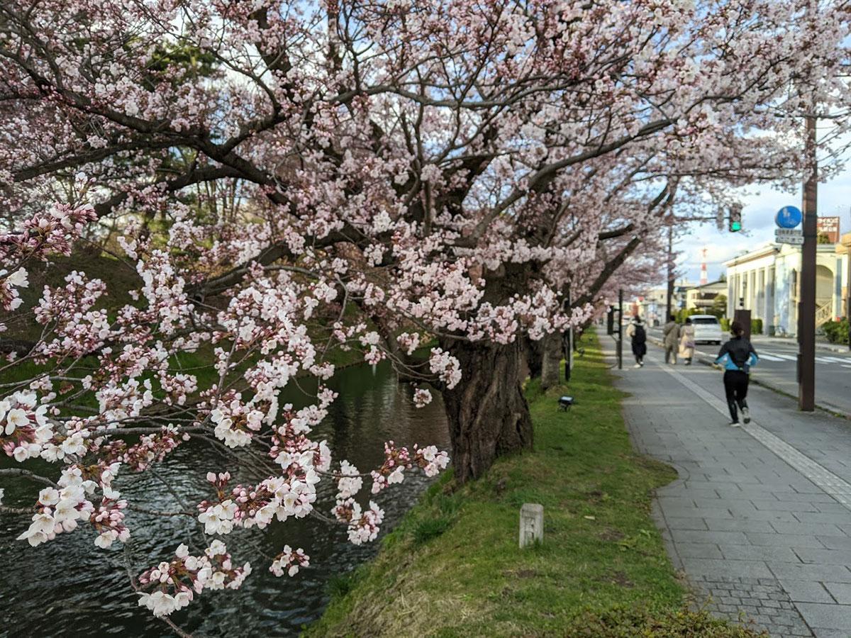 弘前公園内では最も早く桜が開花する外堀(4月14日15時ころ撮影)