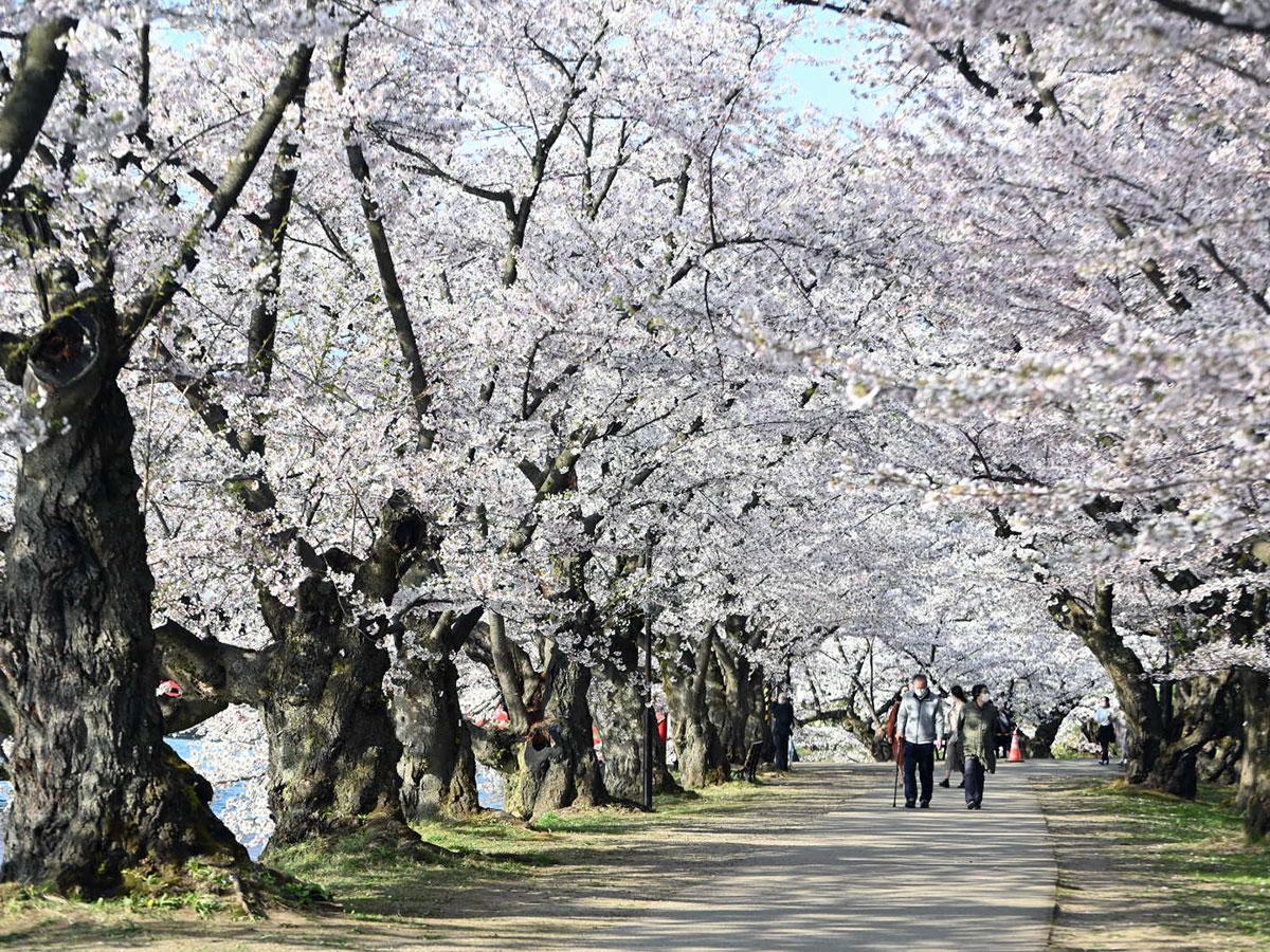 4月19日に満開が発表された桜のトンネル。今年もぼんぼりは設置していない(16時撮影)