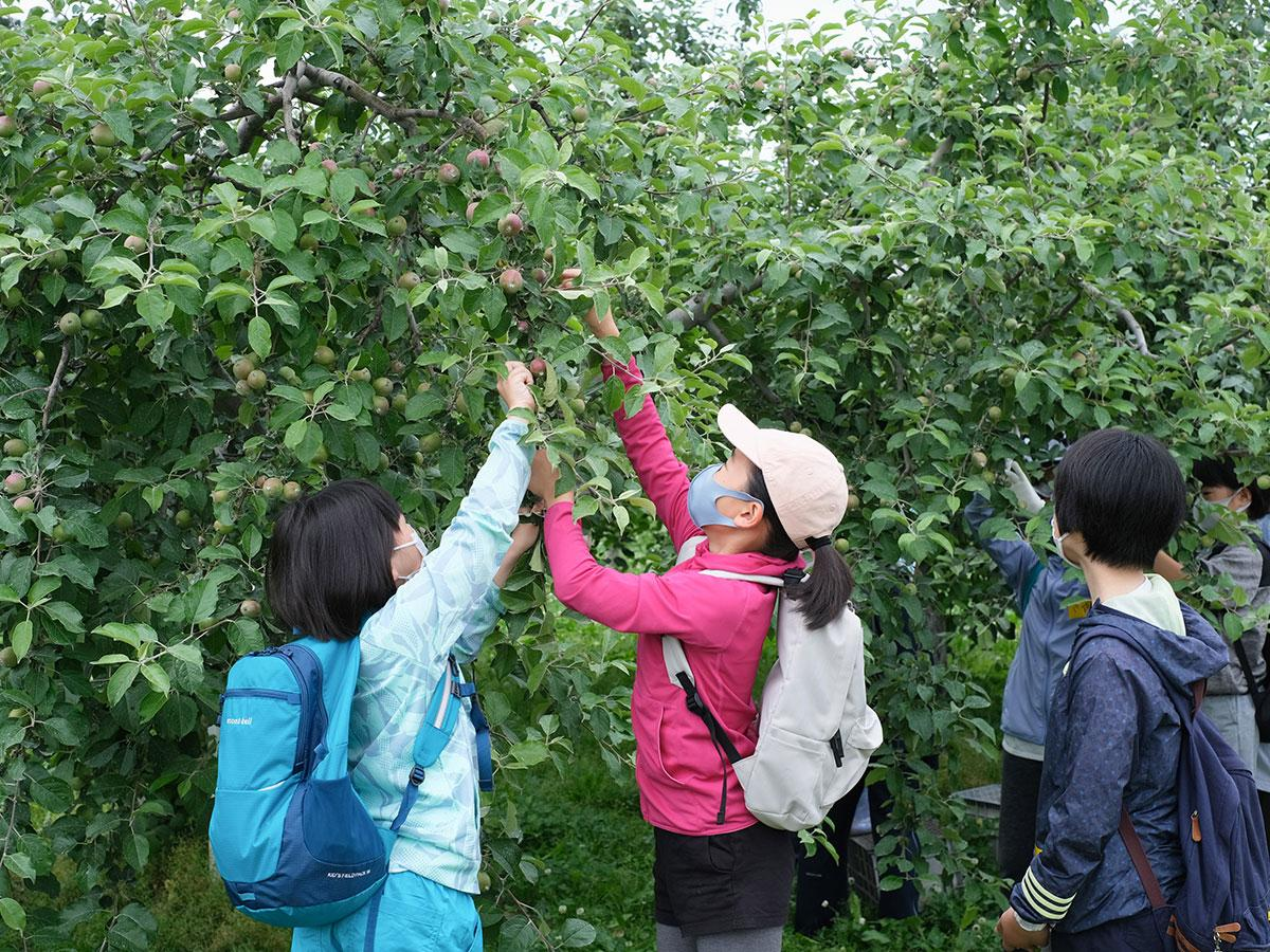 「リンゴの実すぐり」を体験する子どもたち