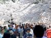 弘前公園が1日早く満開-週末の観光客は32万人