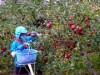 青森・弘前でリンゴ収穫大詰め 今季の収穫終了に向けラストスパート