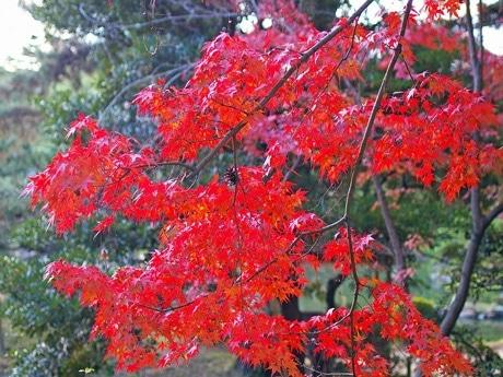 見ごろを迎えた広島市内「縮景園」のモミジ。枝には松ぼっくりも。