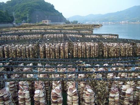 採取されたカキの稚貝は約9ヶ月間ほど抑制棚につられる。