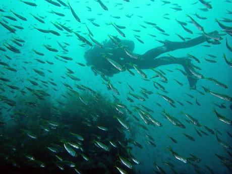クラブヒッチマリンが隠岐で行ったイベントの水中写真