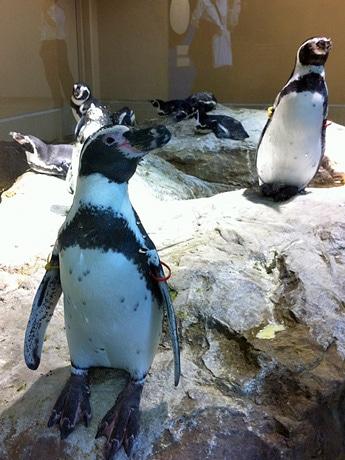 「ペンギンクリスマス撮影会」は12月25日まで開催する