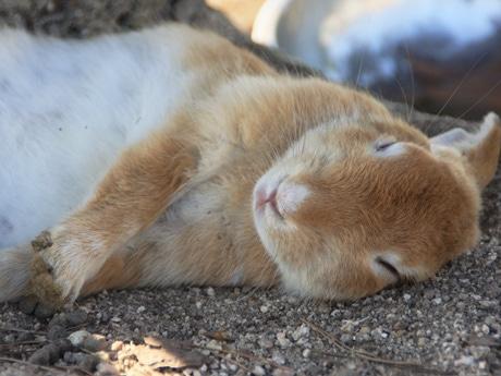 野生のウサギと触れ合えるラビットアイランド「大久野島」