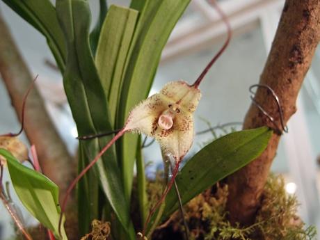 サルの顔のように見えるランは1週間程度しか咲かないという