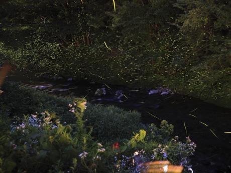 2014年に湯来温泉で見られたホタル