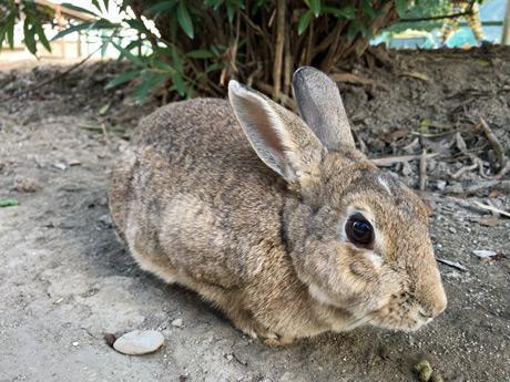 大久野島にはウサギ700羽が生息するという