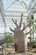 広島に国内最大のバオバブ 植物公園の大温室リニューアルに合わせ展示