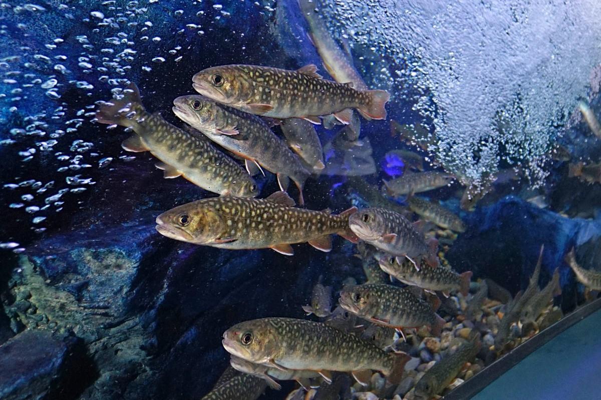 メイン展示である「渓流水槽」内の県指定天然記念物「ゴギ」を調理する