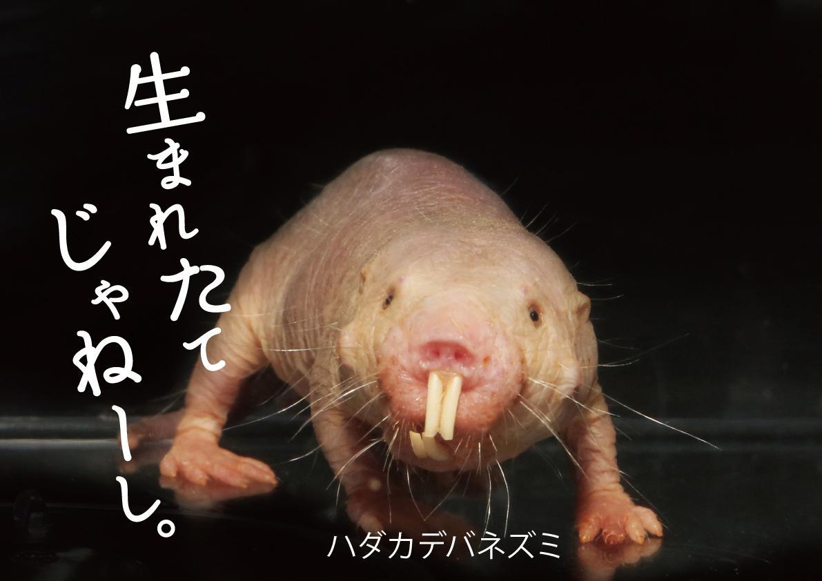 「ハダカデバネズミ」の展示イメージ
