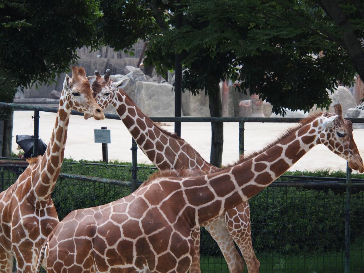 「世界キリンの日」に合わせて広島市安佐動物公園で飼育員が特別解説を行う