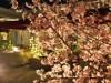 広島のガーデンレストランの桜が見頃に 200本が咲き誇る
