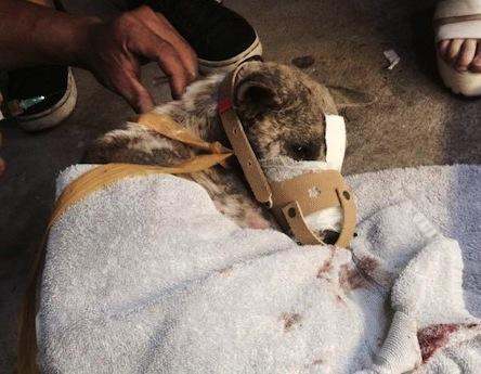 テープが外されて包帯にされた犬 © Dien Nguyen