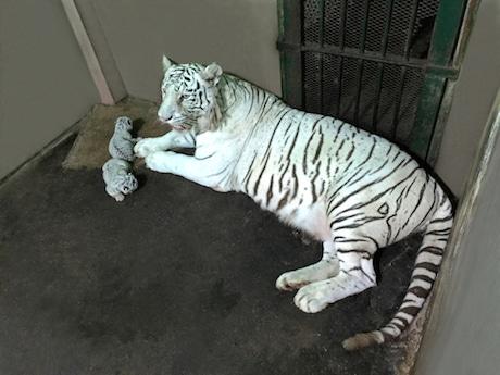 ホワイトタイガーの母親(右)と赤ちゃん(左)©サイゴン動植物園