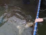 ハノイのホアンキエム湖で「伝説の巨大ガメ」が死亡 推定死因は老衰と低気温