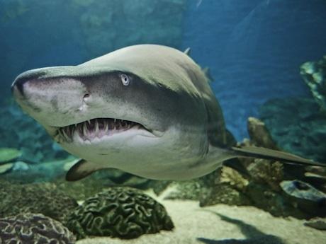 鋭い歯がずらりと並ぶシロワニは2000年に同園に来た長寿ザメ