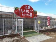 埼玉・上里町でイチゴ&トマト狩り 30分間食べ放題