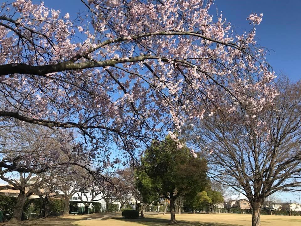 会場となる若泉運動公園の昨年の桜