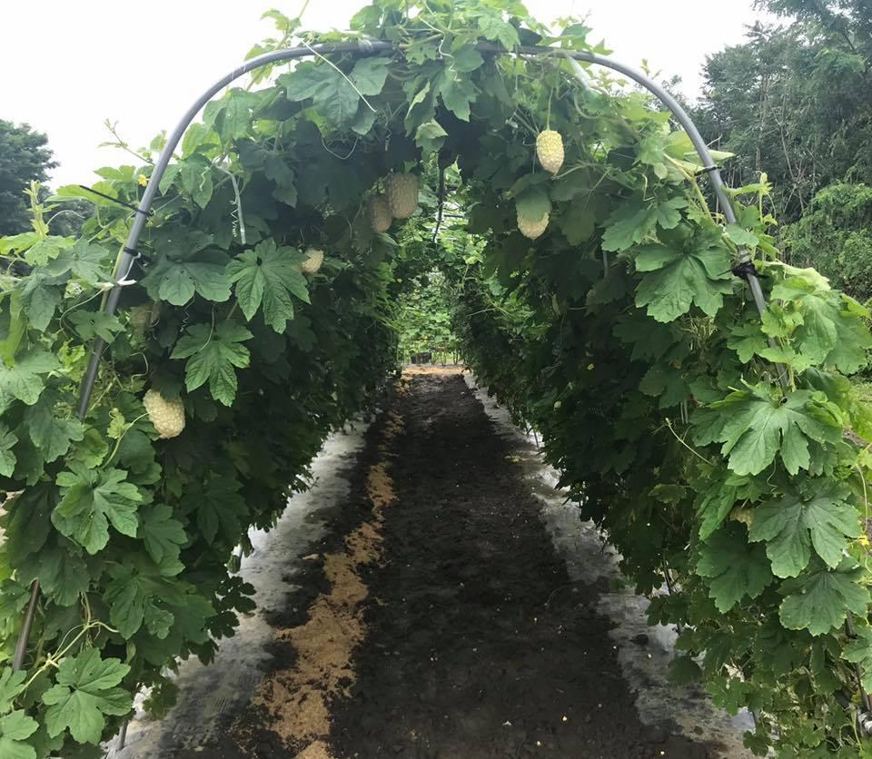 「夏野菜の収穫体験」を行う畑内にある「白いゴーヤ」の収穫体験エリア