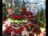 本庄市役所ロビーにポインセチアなど 地元・花の会が展示