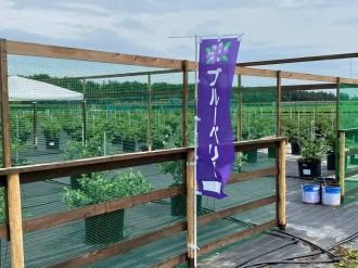 神川町「カネザワフルーツリゾート」にブルーベリー農園